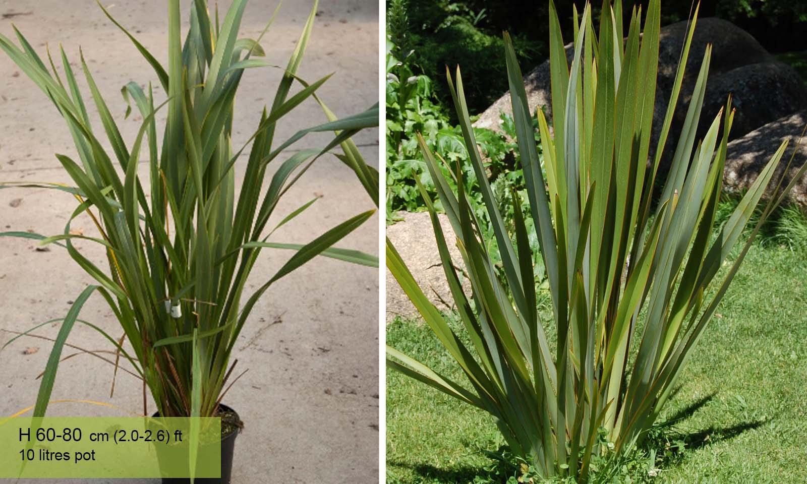 Phormium Tenax (New Zealand Flax)