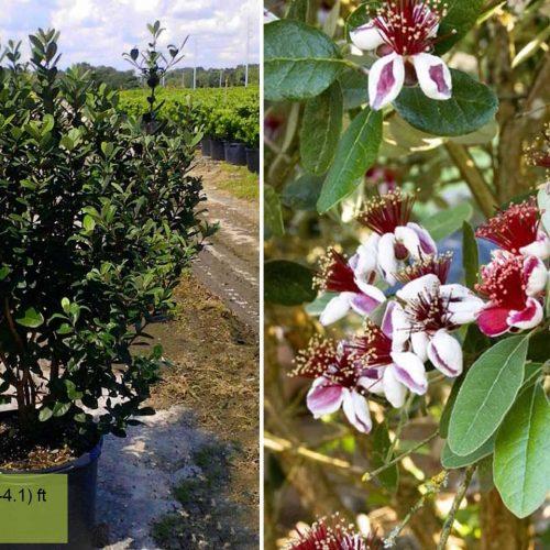 Feijoa Sellowiana (Pineapple Guava Tree / Acca sellowiana) - Shrub