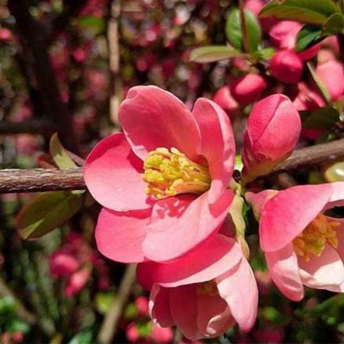 Chaenomeles Japonica (Japanese Quince) - Shrub