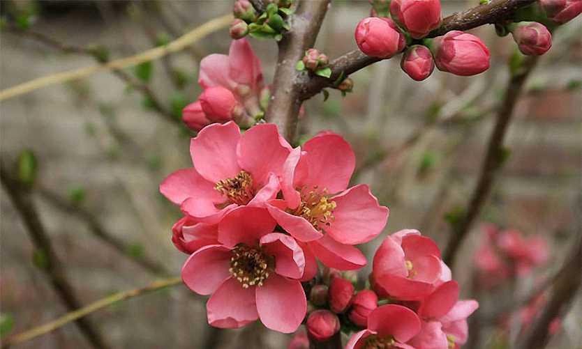 Chaenomeles Japonica (Japanese Quince) - Shrub