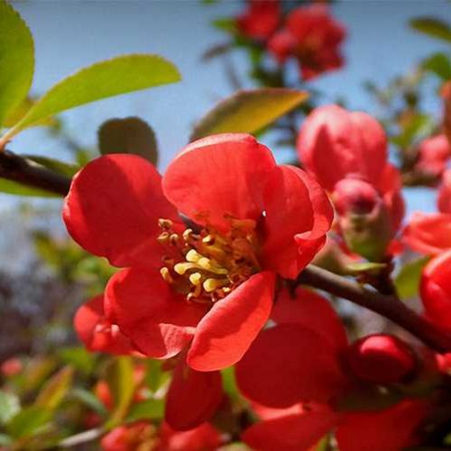 Chaenomeles x Superba (Flowering Quince) - Shrub