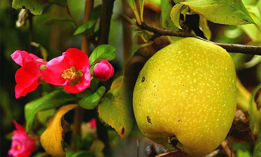 Chaenomeles x Superba (Flowering Quince) - Shrub