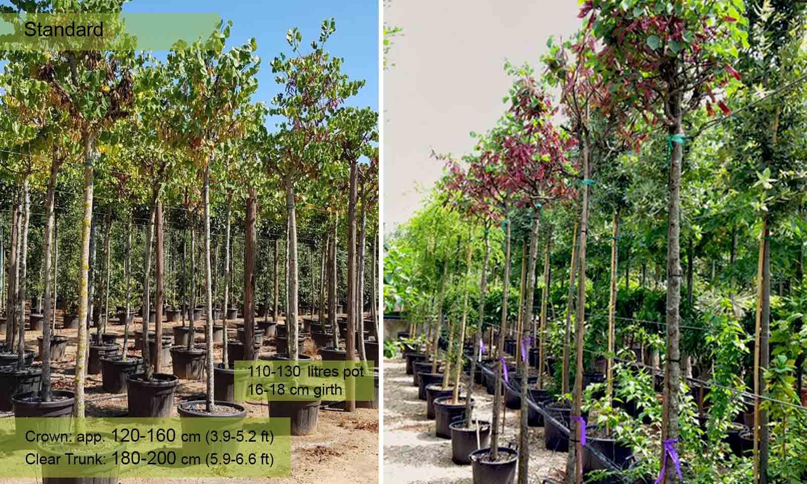 Cercis Siliquastrum (Judas Tree) - Standard