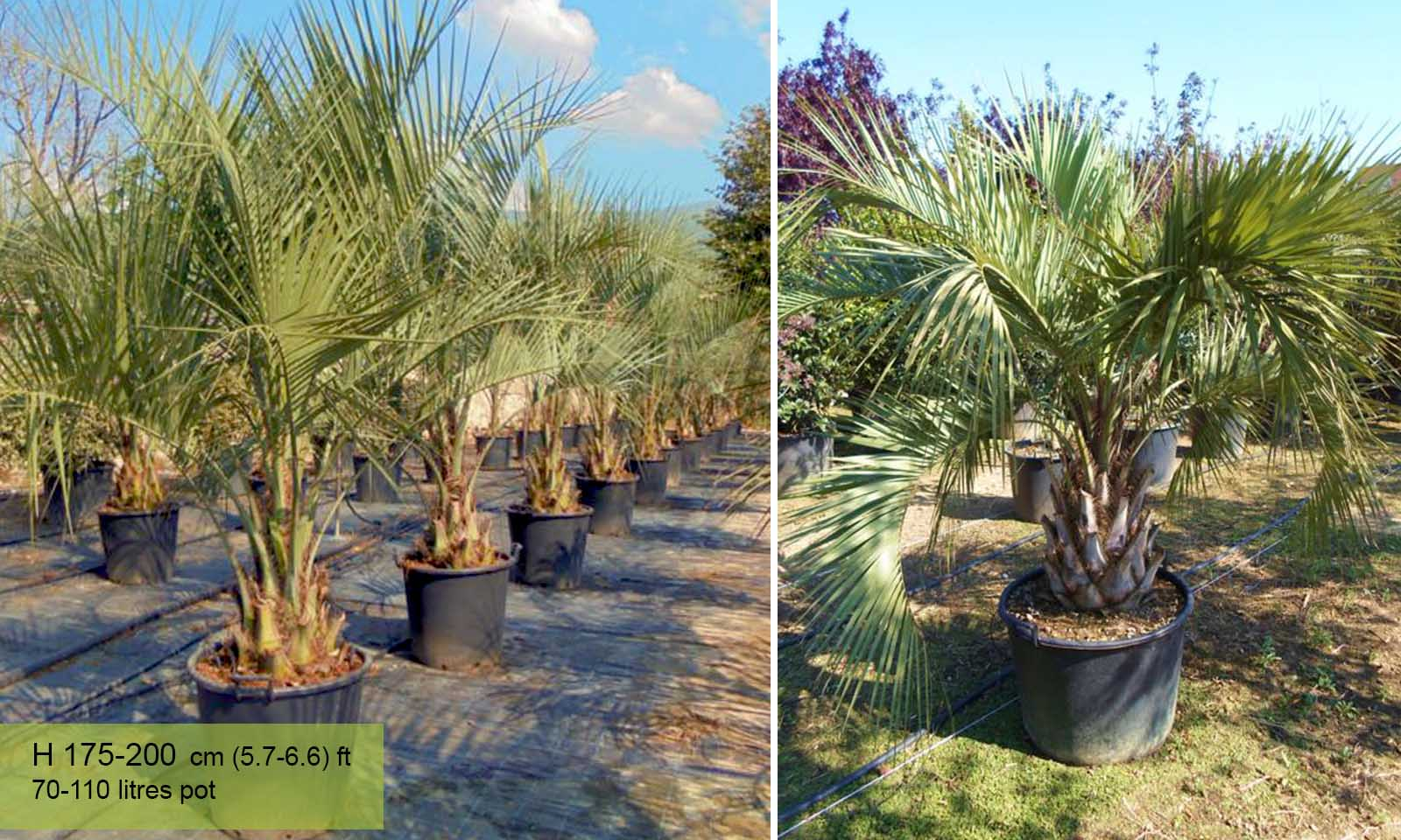 Butia Capitata (Jelly Palm)