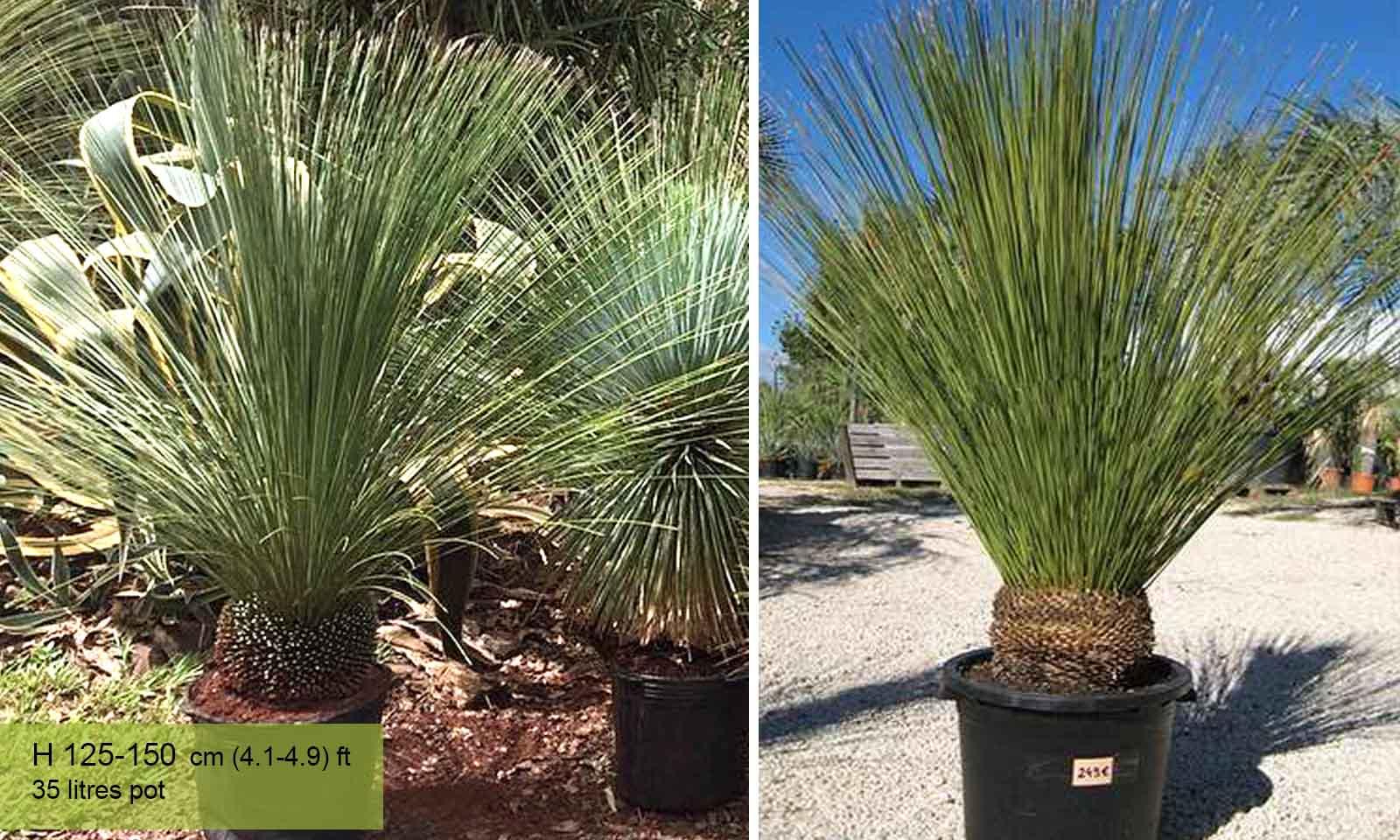 Dasylirion Longissimum (Mexican Grass Tree)