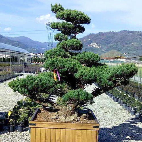White Pine (Pinus Pentaphylla) Japanese Style