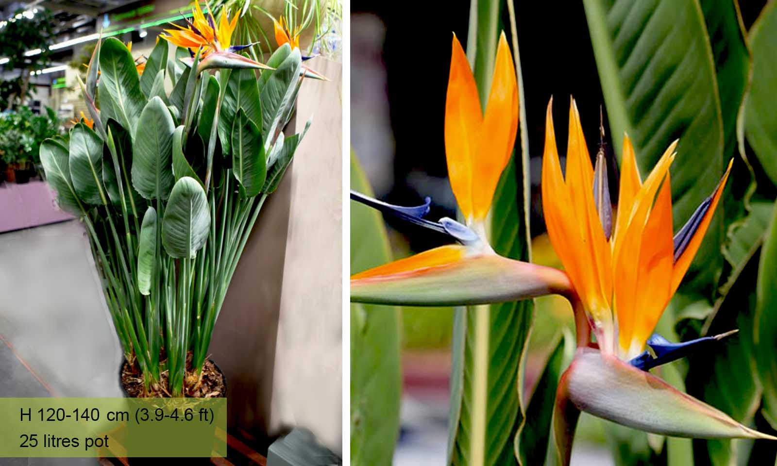 Strelitzia Reginae (Bird of Paradise Plant)