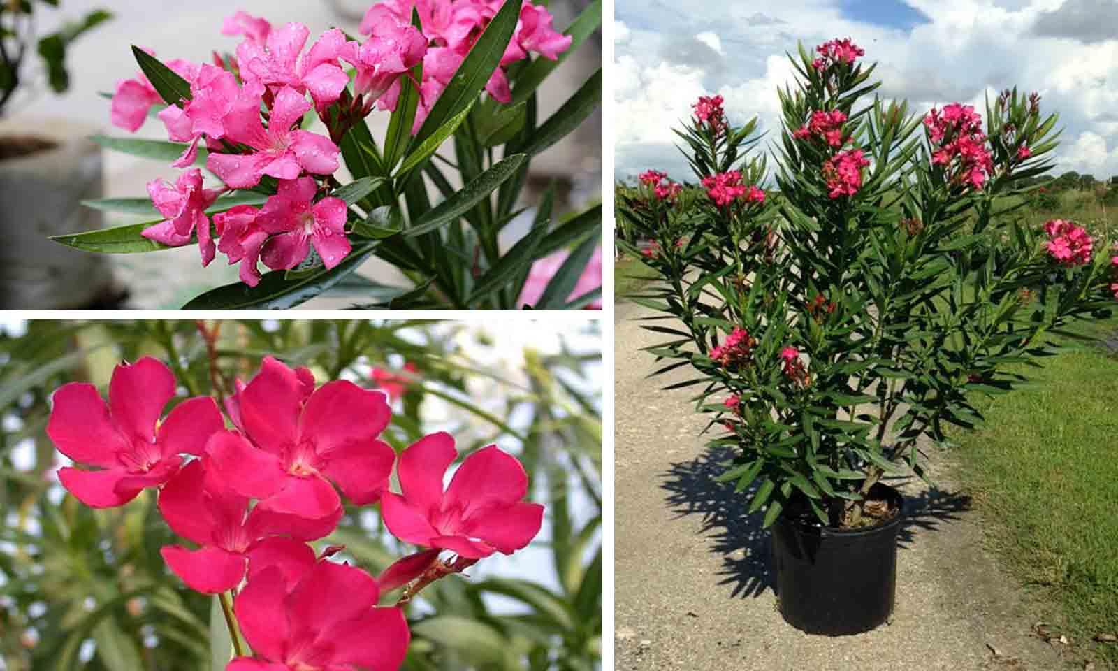 Nerium Oleander (East Indian Oleander) - Shrub