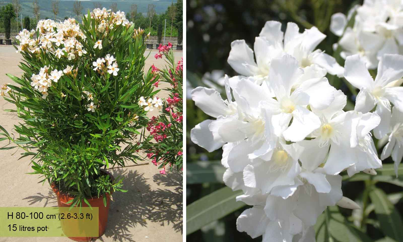 Nerium Oleander - Shrub