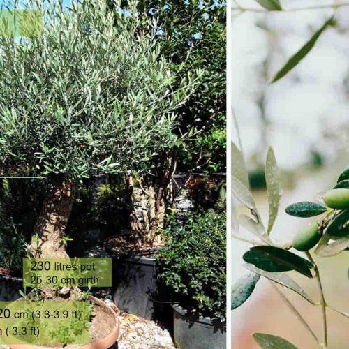 Olea Europaea (Olive Tree) - Half standard