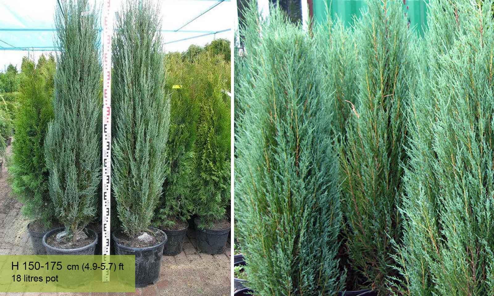 Juniperus Scopulorum (Blue Arrow Juniper, Virginia Juniper, Rocky Mountain)