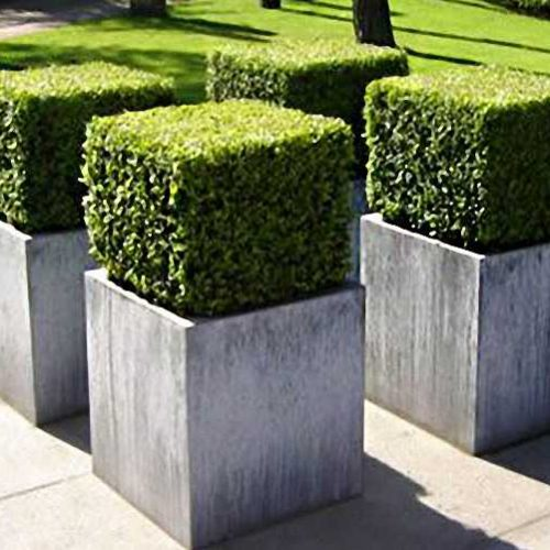 Buxus Microphylla Faulkner - Cube