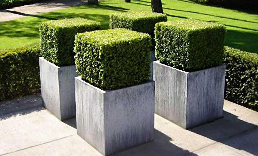 Buxus Microphylla Faulkner (Box Faulkner) - Cube