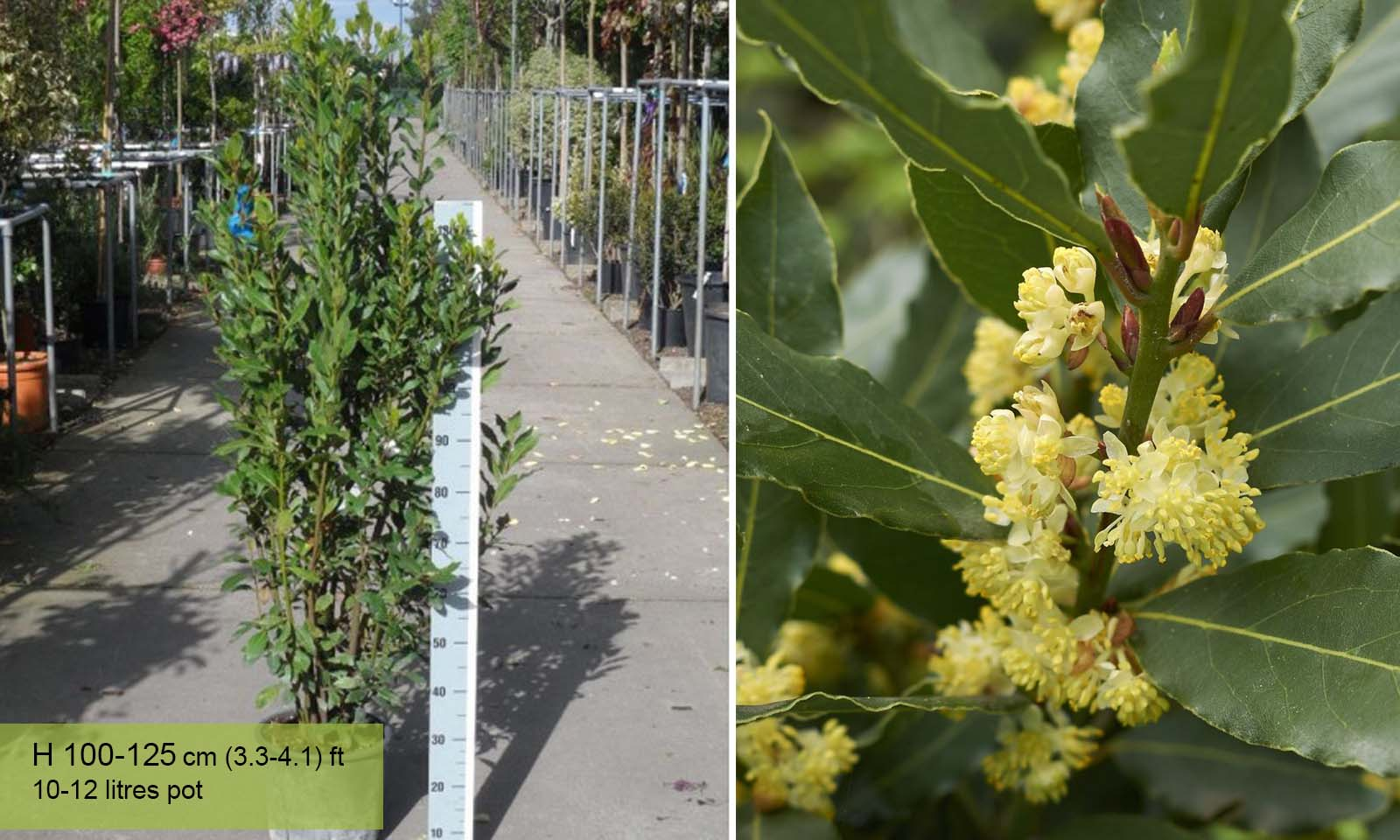 Laurus Nobilis (Bay Tree) – Shrub