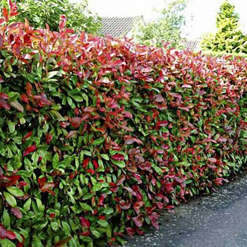 Photinia Serrulata Red Robin (Christmas Berry) - Shrub