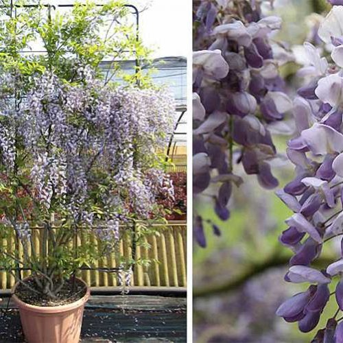 Wisteria Sinensis (Chinese Wisteria) - Espalier