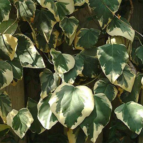 Hedera Colchica Dentata Variegata (Persian Ivy) - Climbing