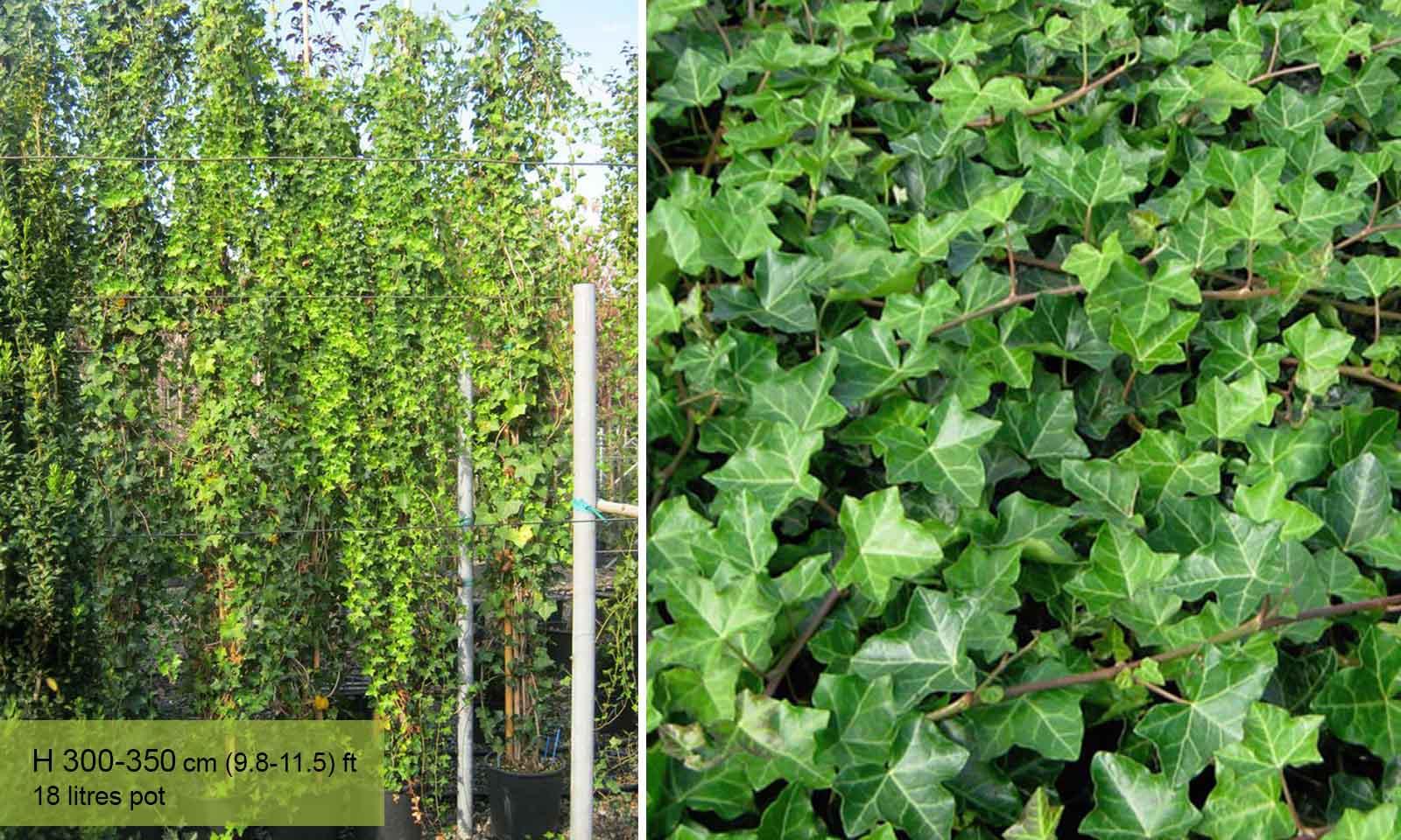 Hedera Helix Hibernica (Hibernica Irish Ivy / Atlantic Ivy) - Climbing