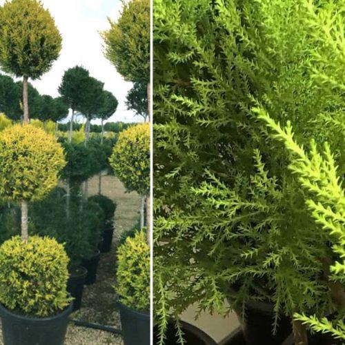 Cupressus Macrocarpa Goldcrest (Goldcrest Cypress) – 3 Balls