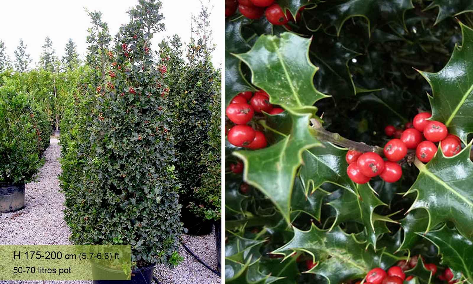 Ilex Aquifolium (English Holly) - Cone