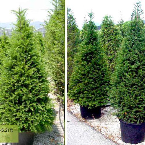 Taxus Baccata (English yew) – Cone