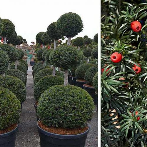 Taxus Baccata (English Yew) – 3 Balls