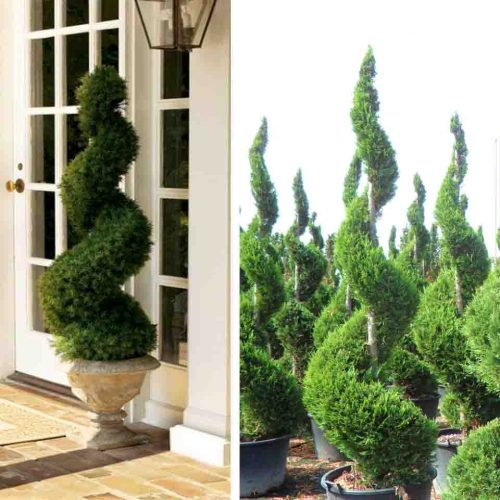 Taxus Baccata (English Yew) – Spiral