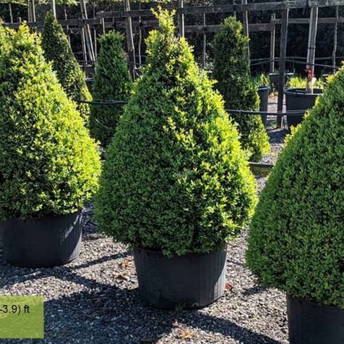 Buxus Microphylla Faulkner - Cone