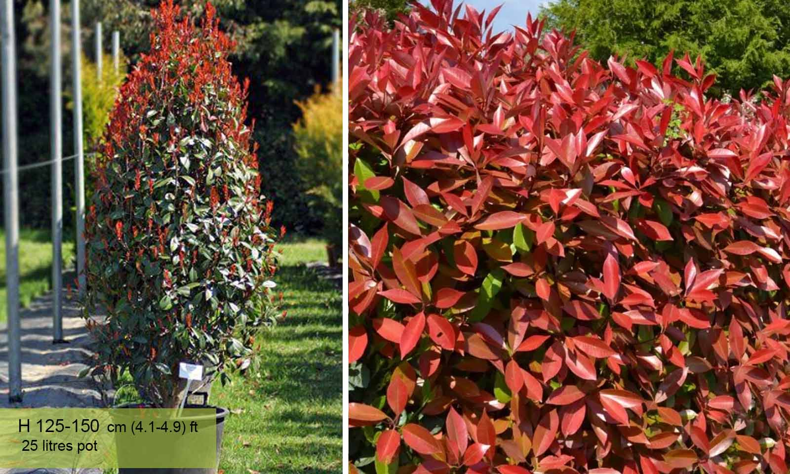 Photinia Serrulata Red Robin – Cone