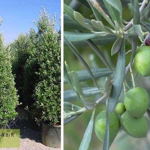 Olea Europaea Cipressino Frangivento (Olive Tree) – Shrub