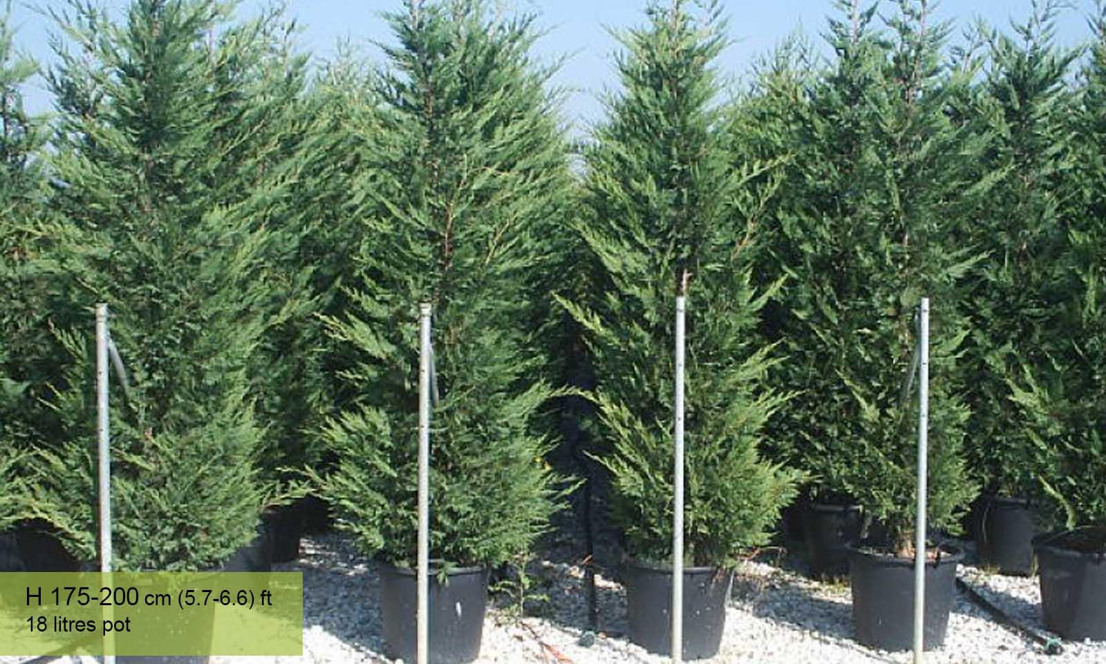 Cupressocyparis Leylandii (Green Hedge)