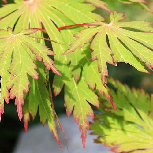 Acer Japonicum Aconitifolium (Full Moon Maple) - Shrub