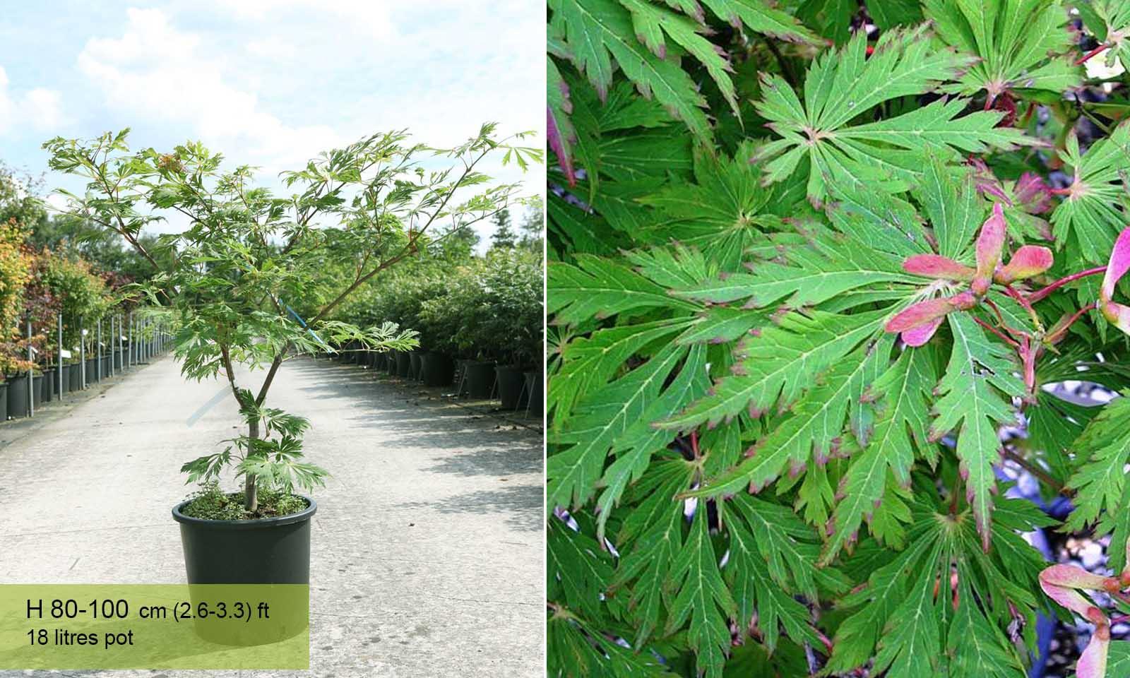 Acer Japonicum Aconitifolium - Shrub