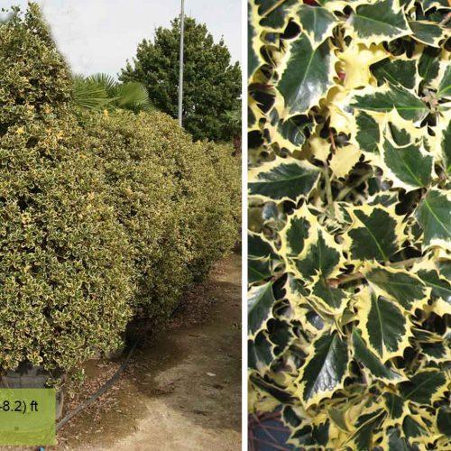 Ilex Aquifolium Argenteomarginata (Variegated English Holly) – Cone