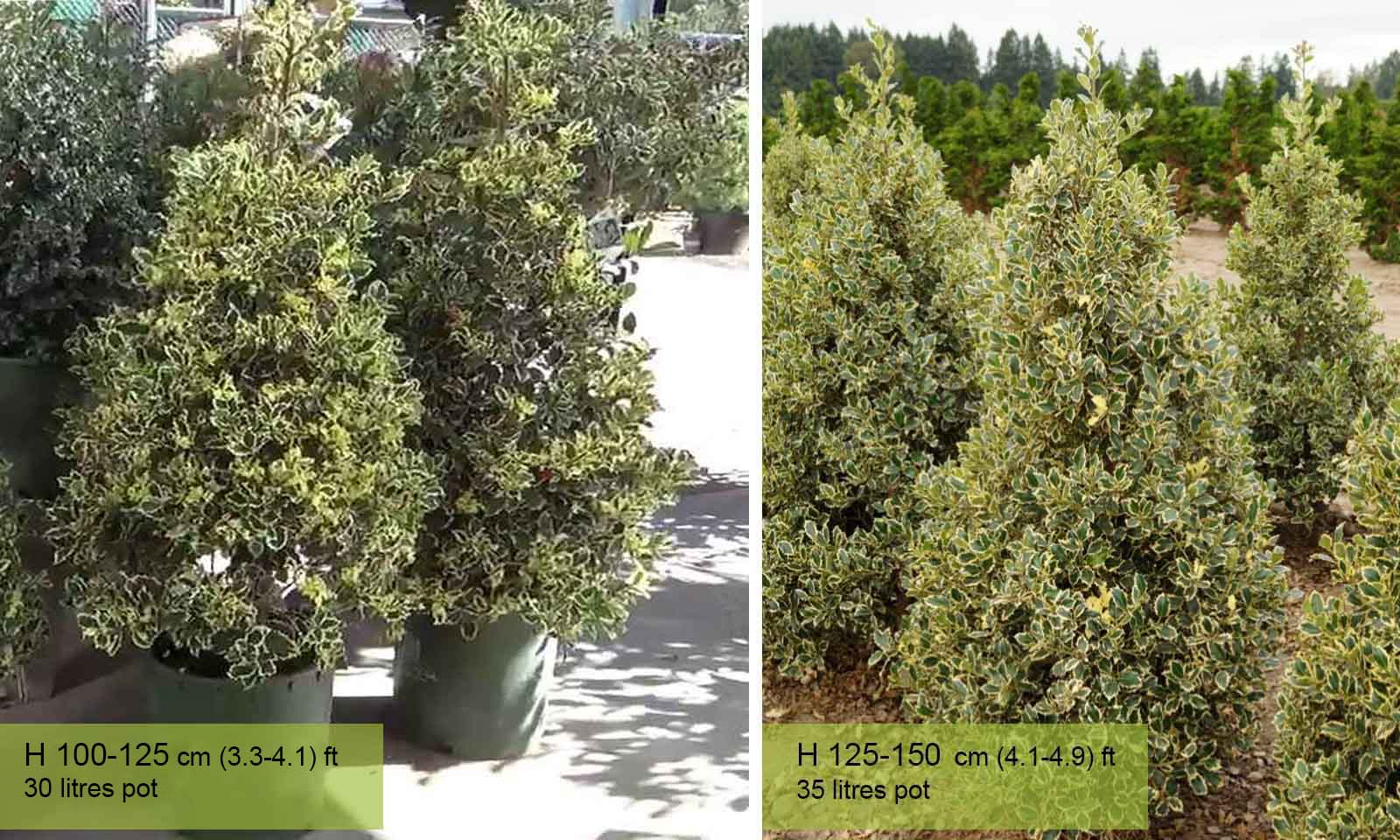 Ilex Aquifolium Argenteomarginata (Variegated English Holly) – Cone