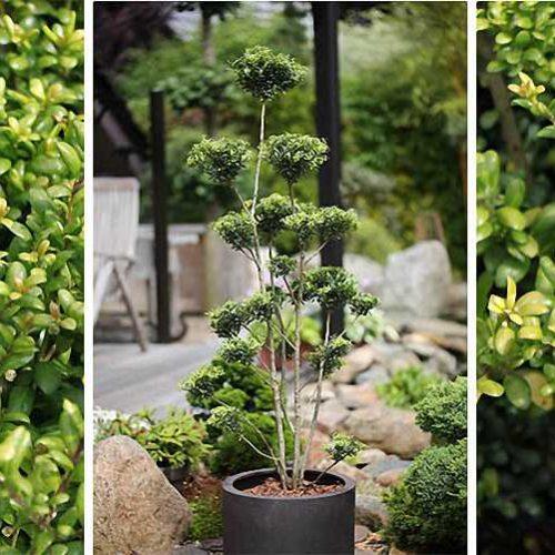 Ilex Crenata Convexa (Japanese Holly) - Pom Pon