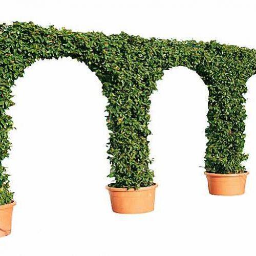 Topiary Triple Arch (Hedera Hibernica)