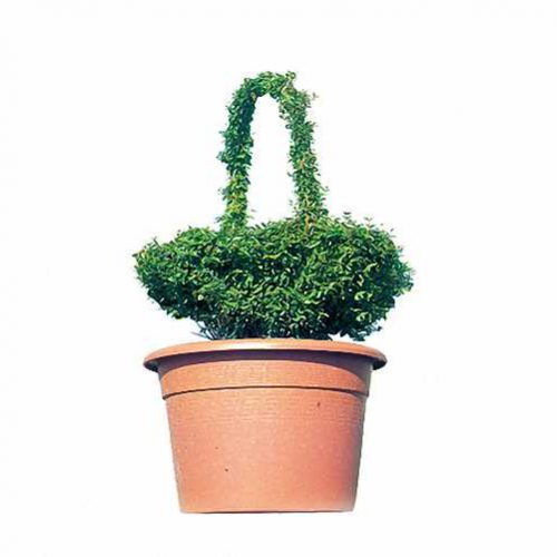 Topiary Basket (Ligustrum Jonandrum)