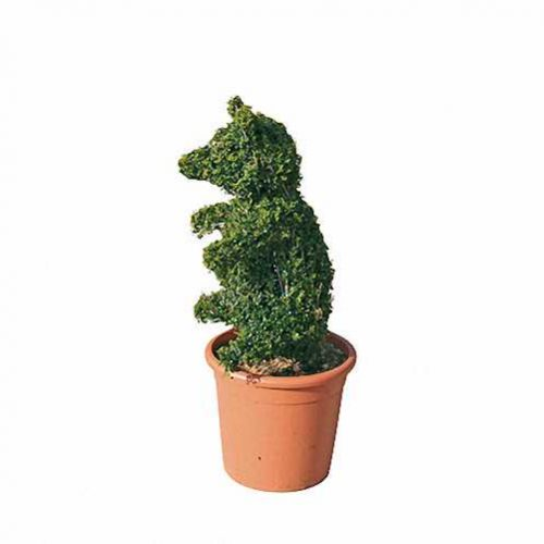 Topiary Bear Little (Ligustrum Jonandrum)