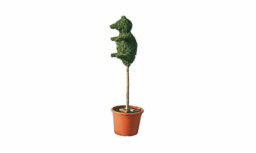 Topiary Bear Little (Ligustrum Jonandrum)
