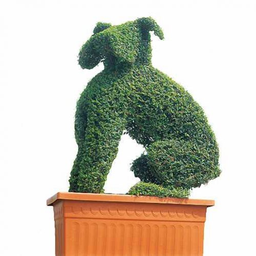 Topiary Boxer Dog (Ligustrum Jonandrum)