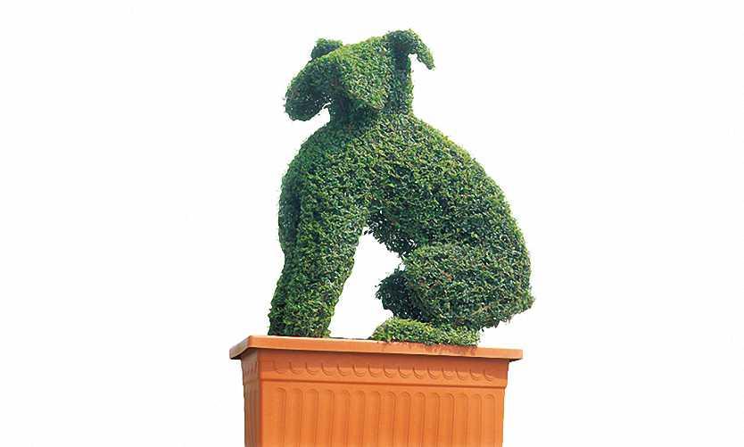 Topiary Boxer Dog (Ligustrum Jonandrum)