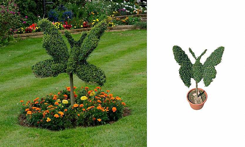 Topiary Butterfly (Ligustrum Jonandrum)