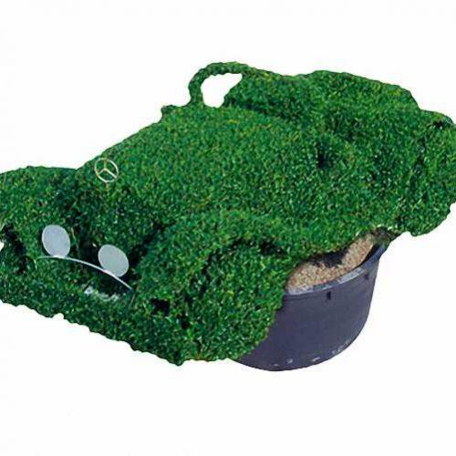 Topiary Car (Ligustrum Jonandrum)