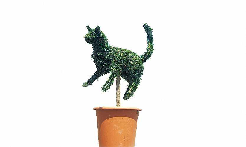 Topiary Cat (Ligustrum Jonandrum)