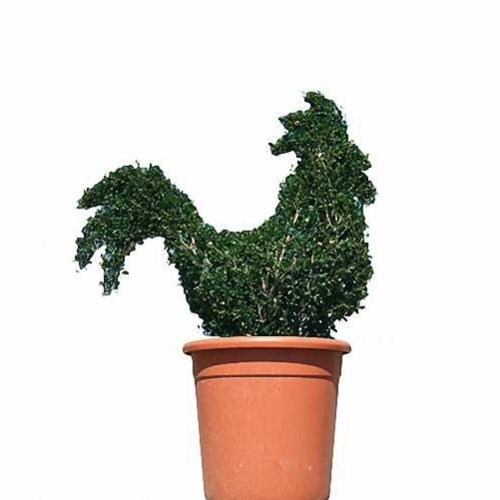 Topiary Cockerel (Ligustrum Jonandrum)
