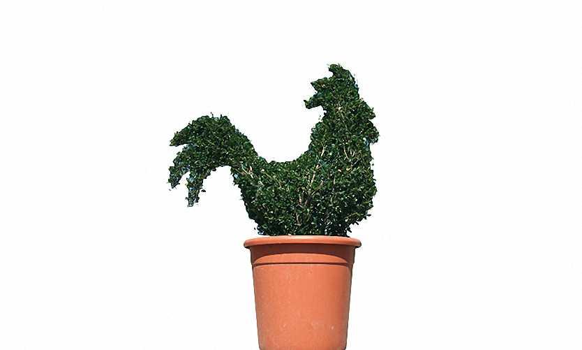 Topiary Cockerel (Ligustrum Jonandrum)