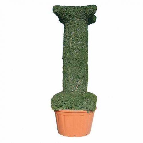 Topiary Column (Ligustrum Jonandrum)