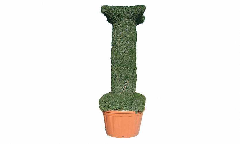 Topiary Column (Ligustrum Jonandrum)