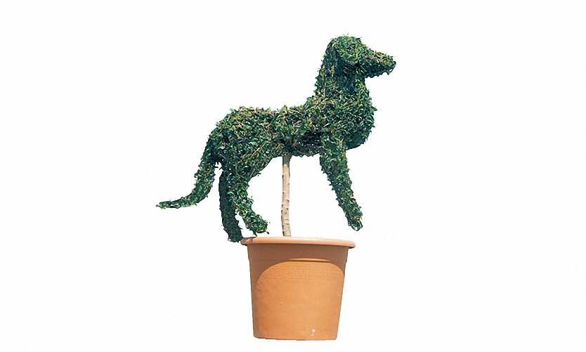 Topiary Dog Guardian (Ligustrum Jonandrum)